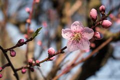 Happy New Year! (ambrasimonetti) Tags: happynewyear flower peach pesco pink speranza nature saveearth