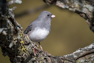 Dark-eyed Junco, York County, PA [Explore 27 December 2016]