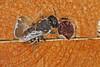 Resin Bee IMG_2806AA (Kool bee) Tags: australiannativebees ballandean bees megachilidae megachile resinbee