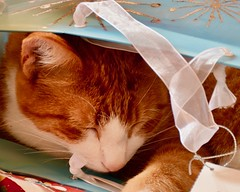 For me? (Kreative Capture) Tags: redux2016 itsalive kitten cat cute bag asleep curry yellow christmas macromondays nikon d7100 nikkor gift pet redux redux2016myfavoritethemeoftheyear merry merrychristmas