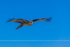 20160225_05808 (Danilo Melzi) Tags: 201602giappone avifauna viaggifotografici nibbioreale