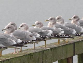 Mew Gulls -- Larus canus