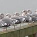 Mew Gulls -- Larus canus (podicep) Tags: mewgull laruscanus laridae westbeachorcasisland orcasisland washington gull