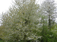 Cherry Trees in Blossom 24042015 DSCN0261 (Coventry City Council) Tags: coombecountrypark coombeabbey coventry