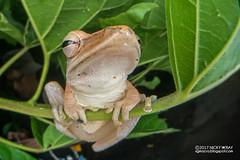 Four-lined tree frog (Polypedates leucomystax) - DSC_9840 (nickybay) Tags: macro singapore jalansamkongsi polypedates leucomystax rhacophoridae fisheye cctv wideangle