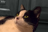 (f.cevrero) Tags: cat black white eyes nero bianco occhi portrait animal pet animali domestici home sleepy nikon d3200 ritratto