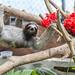 Three-toed sloths Gamboa Wildlife Rescue pandemonio 2017 - 03