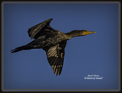 Cormorant in Flight (Visions by Vincent) Tags: birds cormorant celeryfields birdinflight fantasticnature
