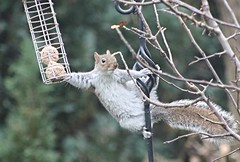 I can just about reach.  Grey Squirrel. (the.haggishunter) Tags: wild wildlife mammel squirrel grey garden winter feeder tree staffordshire