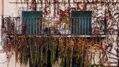 (mazzottaalessandra) Tags: balcone finestre finestra balcony window foglie autunno secco roma italy canon contrast colors colourful piazza navona palazzo architecture architettura