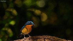 Hill Blue Flycatcher (Cyornis Banyumas) (Sanjay Dandekar) Tags: hillblueflycatcher cyornisbanyumas flycatcher birdportrait bird thailand doiangkhang nikon sigma sigma150600mmsports d500 bokeh forestbirds
