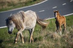 Follow On (JDWCurtis) Tags: horse horses foal family animal animals wildlife wildanimal wildhorses wildfoals road brecon breconbeacons breconbeaconsnationalpark nationalpark nature outside colour