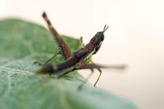 Grilo (Johnny Photofucker) Tags: grilo inseto insect insetto grillo cricket macro lightroom