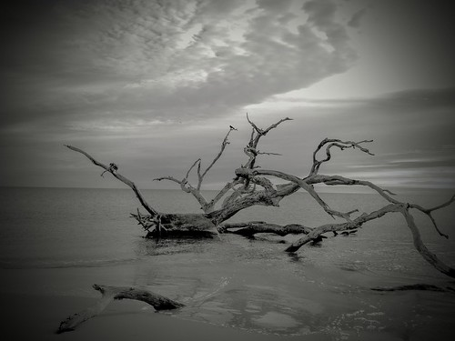 Driftwood on Driftwood Beach Jekyll island Georgia