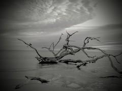Driftwood on Driftwood Beach Jekyll island Georgia