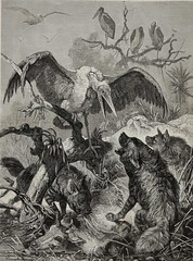 1880 PARADISE LOST - Pack of Brown Hyenas with buffalo kill taking on by Marabou, AWESOME antique vintage engraving Print & Article from French Journal: La Chasse Illustrée 1867 - 1885 by Firmin Didot, Engraving Artist UNKNOWN (KrooneGallery) Tags: 1880 paradise lost hyena vs marabou stork large buffalo kill awesome antique vintage engraving print article from french journal la chasse illustrée 1867 1885 by firmin didot artist unknown kroonegallery brown pack wood block