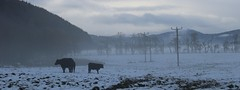 cattle in the mist (Suzie Noble) Tags: cattle cows farm farming farmanimals field strathglass struy