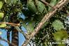 2017-02-03 TEC-3252 Zygia peckii - E.P. Mallory (B Mlry) Tags: 2017 6leaflets1pinnate tec belize belizezoo compoundleaf fabaceae flora leafstructure mimosoideae simplefruit tbz transitionforestlongtrail tropicaleducationcenter zygiastevensonii cauliflorous dehiscentdryfruit elongatebean podsplittingintohavesalong2seamswhendry foliage fruit habitat insitu legumbre legume trails type democracia