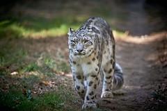 The walker (rondoudou87) Tags: pentax k1 parc zoo reynou smcpda300mmf40edifsdm sauvage wildlife wild wildcat snowleopard léopard leopard panthère panther panthera panthèredesneiges
