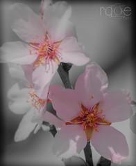 TOQUE B/N (ROGE gonzalez ALIAGA) Tags: roja flor blancoynegro brillo blanco brightness naturaleza negro nikon pink rosa contraste colorido 70300mm