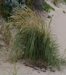 Ammophila arenaria ssp arenaria, Mindalong Beach, Bunbury, WA, 30/10/16 (Russell Cumming) Tags: plant weed ammophila ammophilaarenaria ammophilaarenariaarenaria poaceae mindalongbeach bunbury westernaustralia