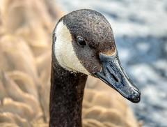 Portrait Of A Canada Goose (Wes Iversen) Tags: bokehwednesday brantacanadensis brighton canadageese canadagoose hbw hww kensingtonmetropark michigan milford tamron150600mm wingwednesday birds portraits waterbirds waterfowl