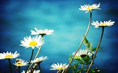 Margaritas (fertraban) Tags: flower primavera lafotodelasemana spring flor margarita top20flowershots lfs052006 abigfave ltytr2 ltytr1 ltytr3