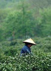 Long Jing Tea Picker (Robert Lio) Tags: china green hat tea hangzhou zhejiang longjing teapicker