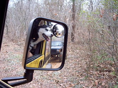 100_2813 (jeepinjason) Tags: dog yellow husky jeep bell siberianhusky isabel isabella siberian tj