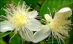 Guava blossoms - by eye of einstein
