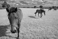 horsies (shooglytripod) Tags: horses suffolk fauxinfrared