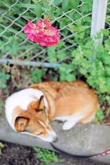 #01 keep your eyes on... (moaan) Tags: life red dog flower green film rose 50mm corgi 2006 inlife kodakretina2c gettyimagesjapanq1 gettyimagesjapanq2