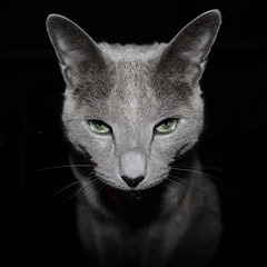 """Kritter"" Portrait (Sensual Shadows Photography) Tags: blue cats russian russianblue kritter interestingness160 i500 bradkarduxbreeder 1mill explore31may2006 cat1000 cat1900 superbmasterpiece"