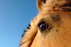 Eye to eye with a fjord horse (Hans van Reenen) Tags: horses horse reflection eye reflections caballo caballos nederland thenetherlands fjord pferd mook paard paarden fjorden mookerheide fav10 molenhoek pferden tm1735