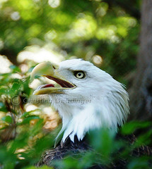 Memorial Day / Memorial Weekend, Bald Eagle in Washington DC at the National Zoo (joschmoblo) Tags: copyright bird tag3 taggedout d50 zoo washingtondc dc washington nikon memorial tag2 day tag1 eagle weekend baldeagle bald honor statues nationalzoo tribute 18200 memorialday allrightsreserved 2007 memorialweekend specanimal joschmoblo christinagnadinger