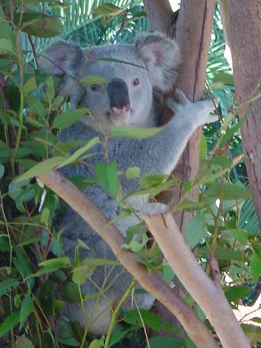 koalas at the zoo