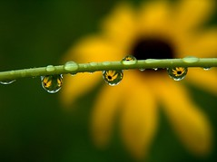 Little mirrors (A photo4HIM) Tags: flower reflection yellow tag3 taggedout droplets tag2 tag1 dew
