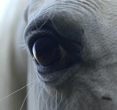 eye to eye (bea2108) Tags: horses horse eye animal animals eyes arab arabian arabianhorse lovely horseeye arabianhorses