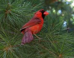 Cardinal (Ever Upward) Tags: red tree bird nature tag3 pine tag2 tag1 cardinal arkansas specnature taggedeout