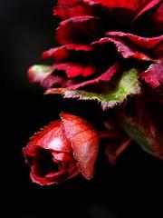 A dramatic begonia with a bud 2 (tanakawho) Tags: red flower macro closeup scarlet dramatic begonia bud thick exploretop20 btld