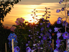 Floral Sunset Variation... (Dave - aka Emptybelly) Tags: light sunset shadow pordosol panorama cloud sun sunlight flower sol nature beautiful silhouette skyscape ilovenature fire zonsondergang colorful paradise tramonto shadows sonnenuntergang horizon 123 321 hampshire glorious rays colourful dmmerung sonydscs40 sunrays crpuscule picturesque newforest eb firelight glamorous oscuridad kiss2 1on1 puestadelsol riveravon coucherdusoleil schemer wondrous dgr yourworld 123nature thecontinuum 2for2 kiss3 views1000 kiss1 kiss4 lovephotography specnature emptybelly kiss5 obsessiveflickrites amillionphotos