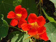 Tropaeolum majus (Tropaeolaceae)