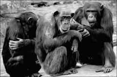 (renee ansley) Tags: bw chimp olympus chimpanzee e500 zd olympuse500 40150mm 123bw zuikodigital originalsinsuality