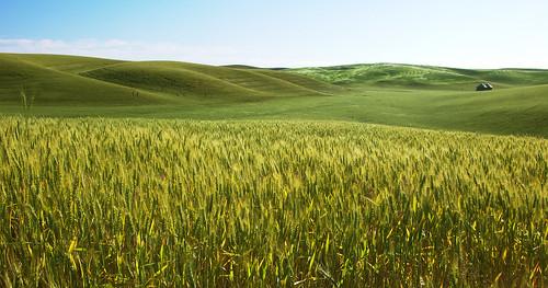 [フリー画像] 自然・風景, 田畑・農場, 丘, 小麦・コムギ, パノラマ, グリーン, 201006130100
