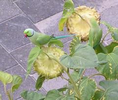 Halsbandparkiet (joosteto) Tags: birds vogels parrots halsbandparkiet psittaculakrameri roseringedparakeet papegaaien