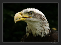 Young Bald Eagle (fcphoto) Tags: canada bird nature birds animal animals bravo 500v20f searchthebest eagle quebec quality baldeagle birdofprey uccello aquila animalportrait magicdonkey top20birdshots i500 interestingness334 specnature specanimal 250v10f fcphoto animalkingdomelite akimageoftheday explore02aug06 kkfav avianexcellence bratanesque