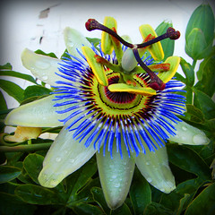 Passion Flower (aka Clock Flower)
