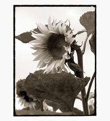 sunflower-elegy [01] (elfis gallery) Tags: life flowers summer blackandwhite bw plants white plant black flower love nature monochrome sepia death grey flora time decay vanity philosophy sunflowers morbid sunflower lovely melancholy schwarzweiss weiss schwarz sonnenblume elegy todolist vanishingbeauty summerends scharzweiss graustufen photophilosophy schwarzundweiss bilderfantasien elegical sunflowerelegy