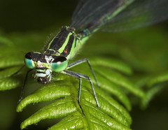 "Damselfly eating a fly • <a style=""font-size:0.8em;"" href=""http://www.flickr.com/photos/57024565@N00/181484702/"" target=""_blank"">View on Flickr</a>"