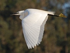 Gara branca / Little Egret (jvverde) Tags: bird portugal heron nature birds ilovenature inflight random natureza birdsinportugal avesemportugal aves ave douro birdsinflight gaia isidro pssaros animalkingdom gara garas herons avifauna asas egrettagarzetta garzetta garabranca asasabertas esturiododouro graabranca emvoo avesemvoo pssaro animalkingdomelite avesemliberdade